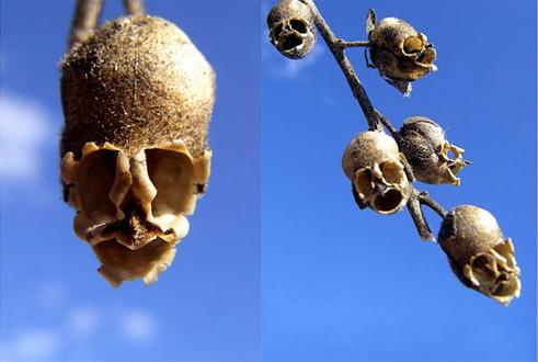 i-fiori-più-strani-e-curiosi-del-mondo-Antirrhinum