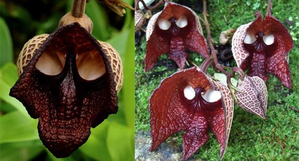 i-fiori-più-strani-e-curiosi-del-mondo-Aristolochia-Salvadorensis