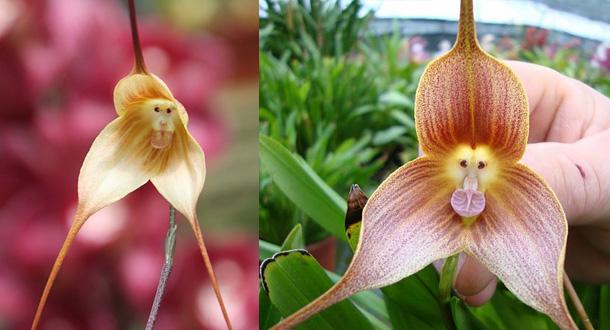 i-fiori-più-strani-e-curiosi-del-mondo-Dracula-Simia