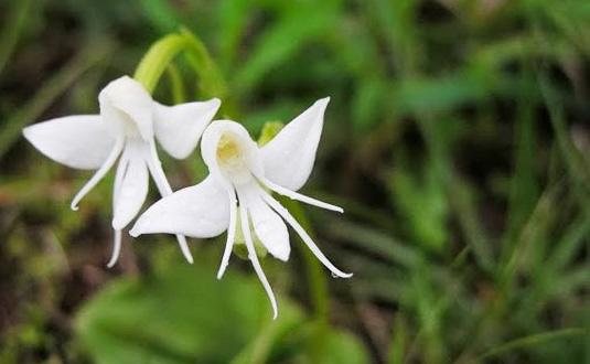 i-fiori-più-strani-e-curiosi-del-mondo-Habenaria-Grandifloriformis