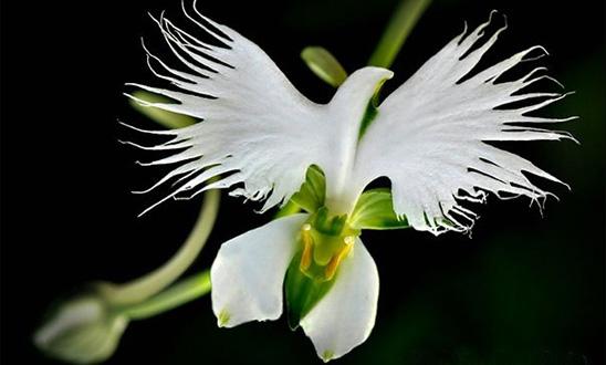 i-fiori-più-strani-e-curiosi-del-mondo-Habenaria-Radiata