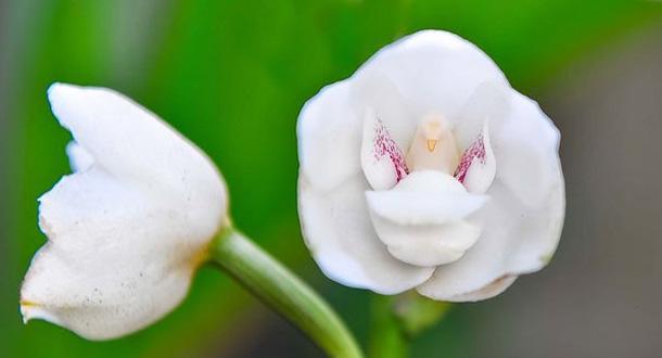 i-fiori-più-strani-e-curiosi-del-mondo-Peristeria-Elata