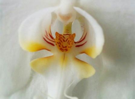 i-fiori-più-strani-e-curiosi-del-mondo-orchidea-tigre